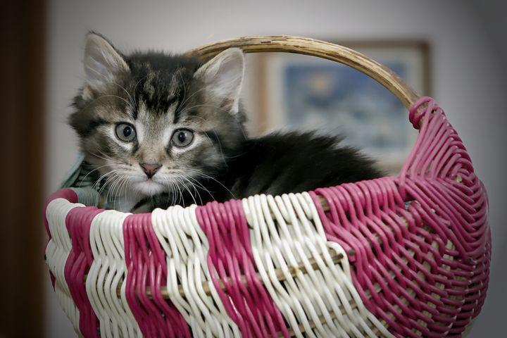 Kitten in a Basket - D. van Doorn
