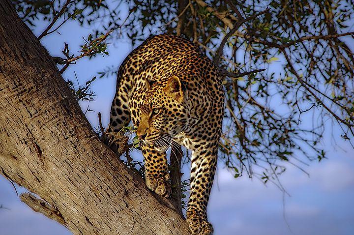 Leopard - D. van Doorn