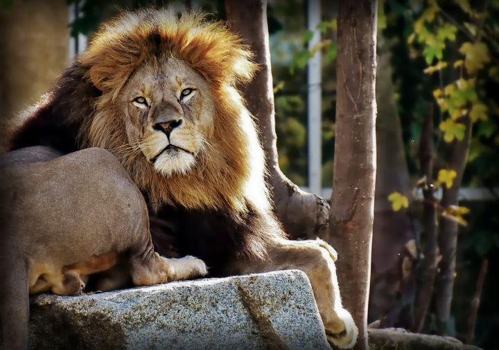 Lion - D. van Doorn