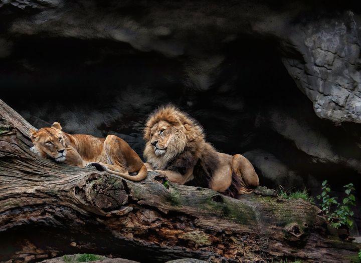 Lions - D. van Doorn