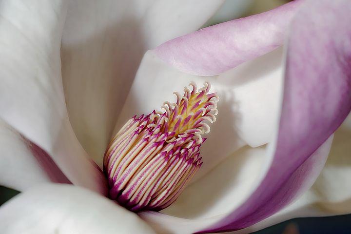 Magnolia - D. van Doorn