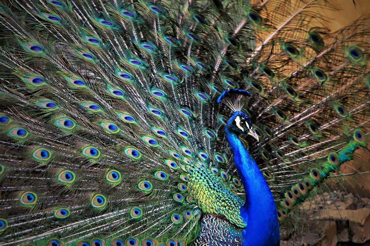 Peacock Portrait - D. van Doorn