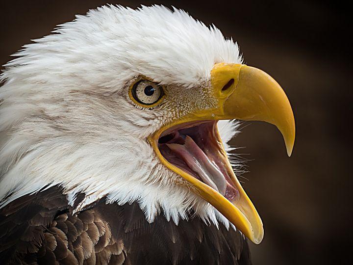 Alder Eagle - D. van Doorn