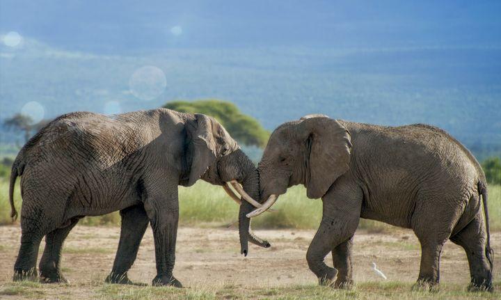 Elephant Duo - D. van Doorn