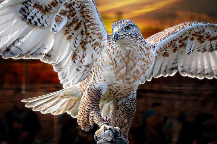 Hawk Portrait - D. van Doorn