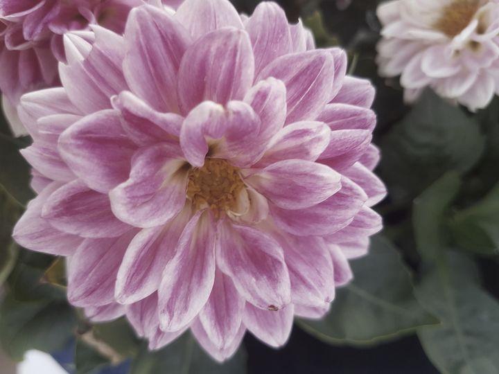 Pink Flower - D. van Doorn