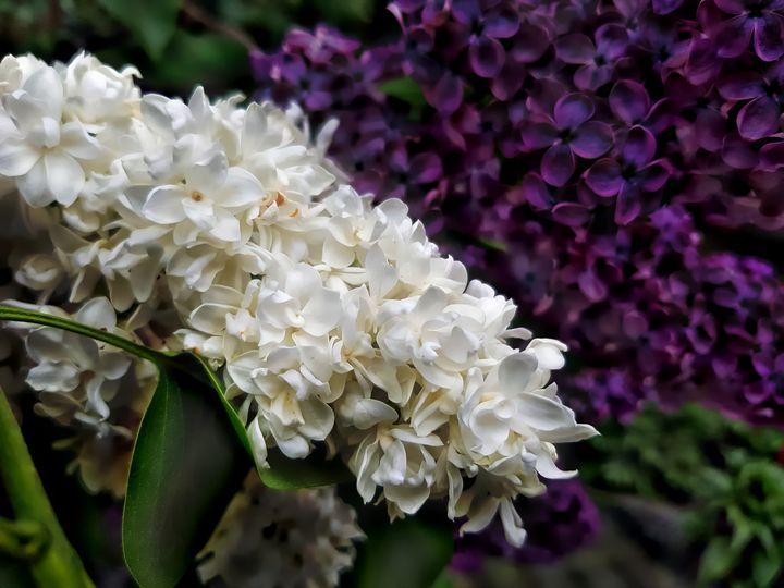 Lilacs - D. van Doorn