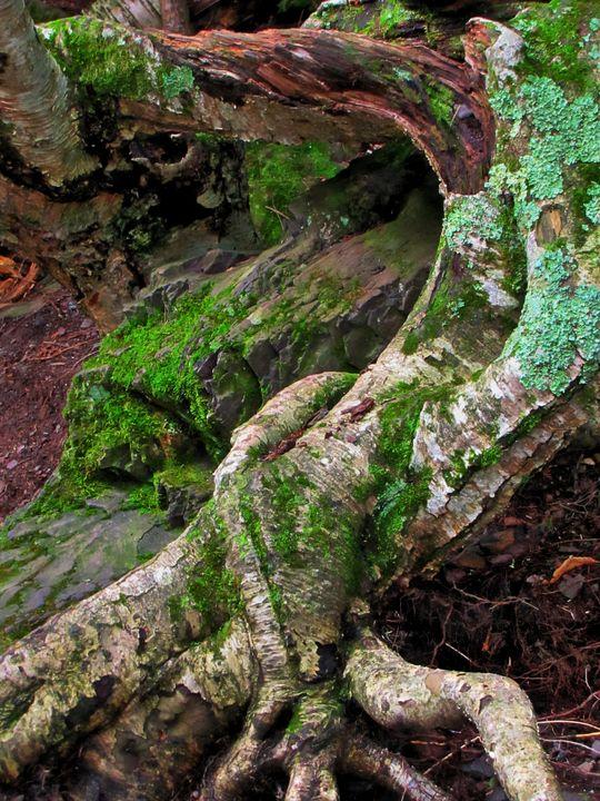 Tree Roots - D. van Doorn