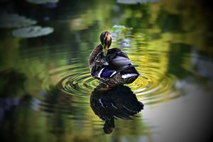 Reflective Duck