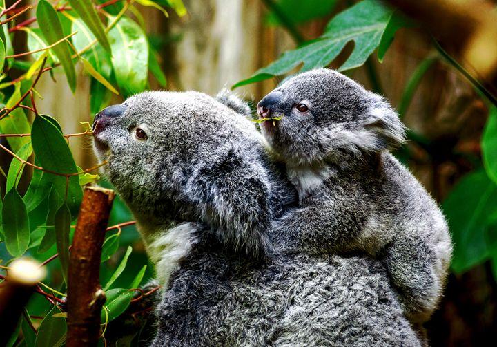 Koala Family - D. van Doorn