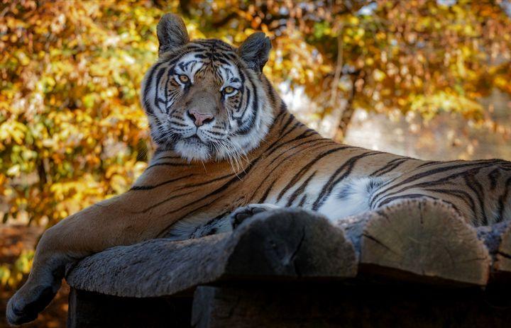 Autumn Tiger - D. van Doorn