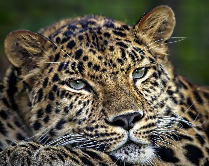 Amur Leopard - D. van Doorn