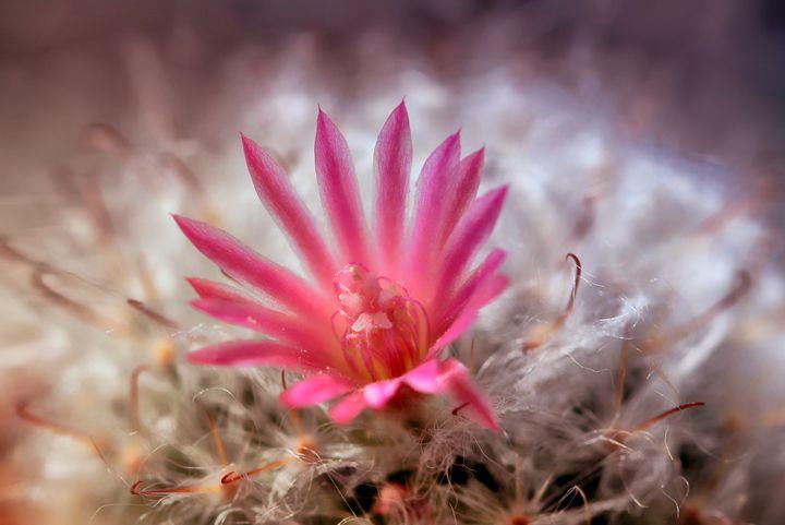 Pink Cactus - D. van Doorn