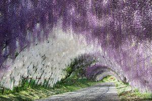 Wisteria Tunnel - D. van Doorn