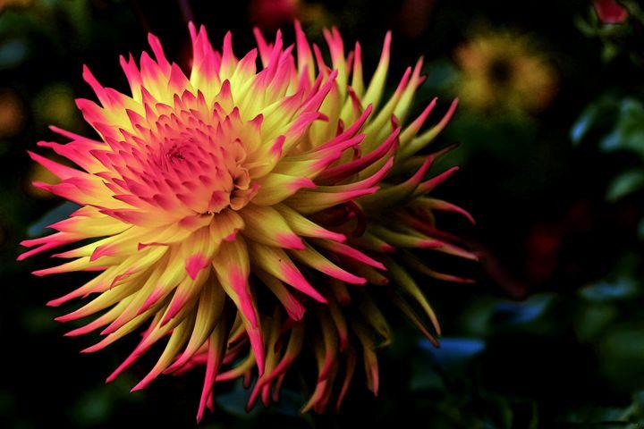 Pink Dahlia - D. van Doorn