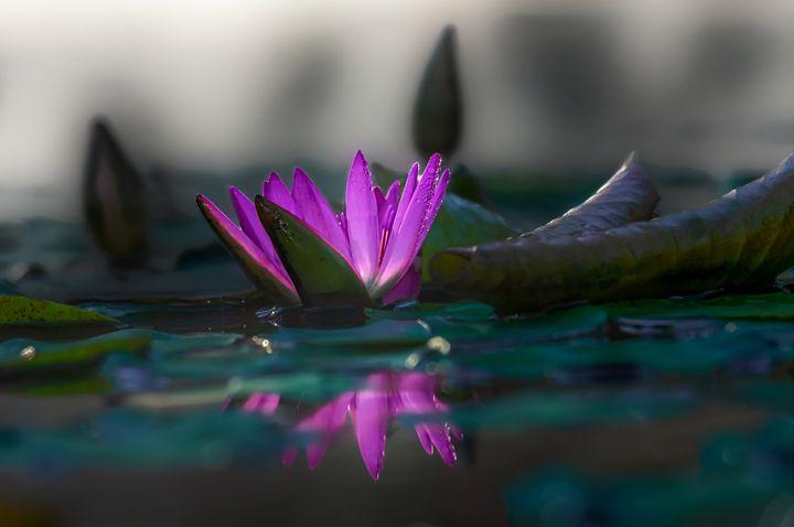 Water Lily - D. van Doorn