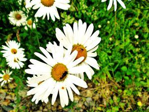 Marguerites et abeille