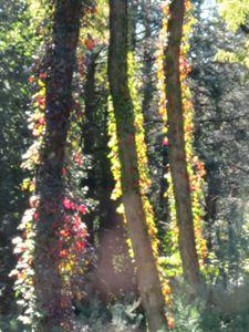 end of summer vines on locust tree