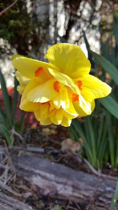 Daring Daffodil - Dreamweaver Designs