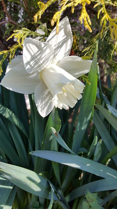 Darling Daffodil - Dreamweaver Designs