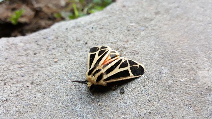 Teeny Tiger Moth - Dreamweaver Designs