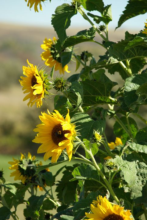 Sunflower Bee - Sunshine Trail Rides & Photography