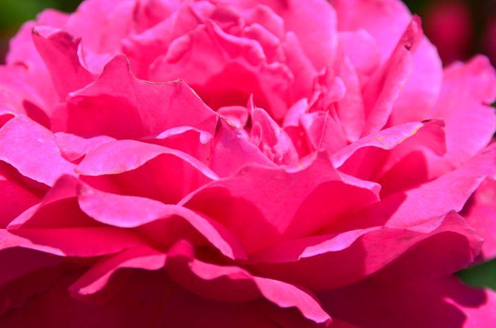 ROSE - Englishmansart