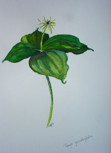 Paris quadrifolia