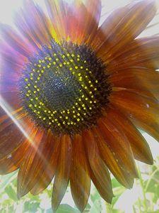 Blood sunflower