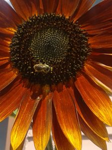Sun bee