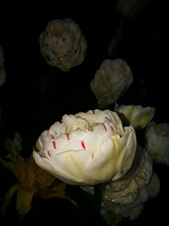 White tulip - Alenenok_art