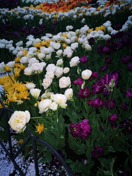Tulips - Alenenok_art