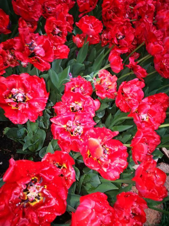 red tulips field after rain - Alenenok_art