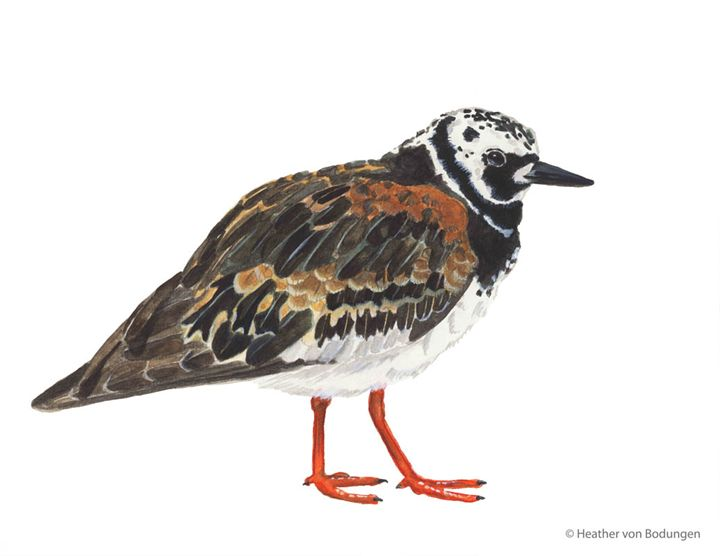 Ruddy Turnstone (Arenaria interpres) - Heather von Bodungen