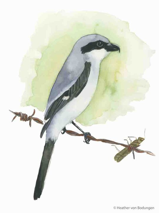 Loggerhead Shrike (L. ludovicianus) - Heather von Bodungen