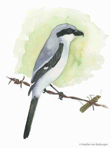 Loggerhead Shrike (L. ludovicianus)