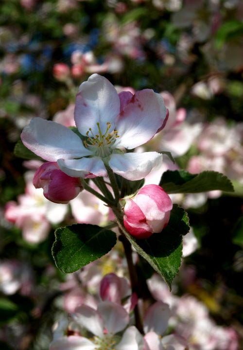Apple Blossom - Oil Paintings and Photography