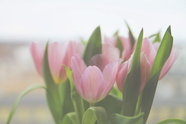 Soft tulips - Oil Paintings and Photography