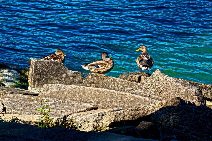 Three Ducks On Rocks - Bruce Bodden