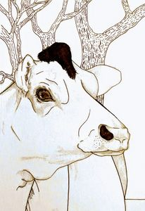 A Cow is Staring