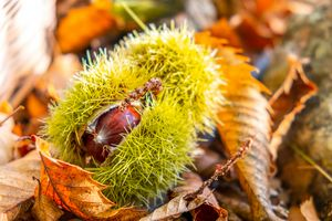 chestnuts shell close up background