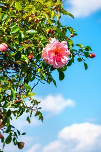 rose background sky vertical big siz