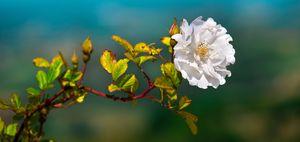 white flower horizontal background