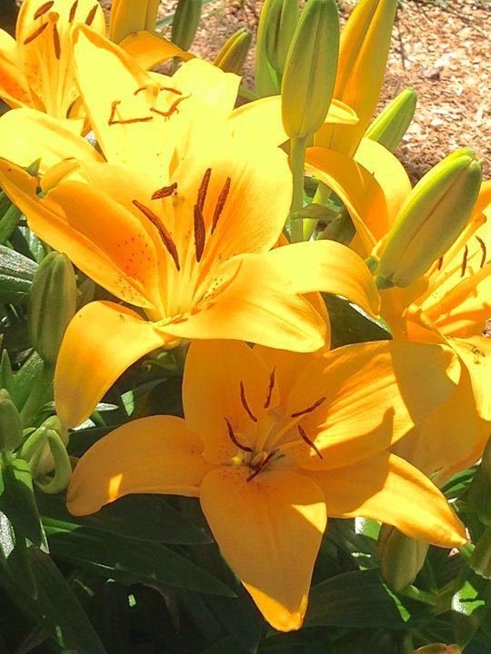 Sunshine Lily - Annie Wasserman