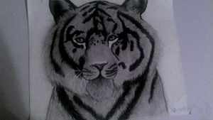 Bangal tiger