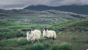Scottish sheeps on the Isle of Lewis