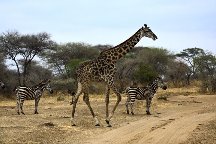 Giraffe and Zebras - Sally Weigand Images