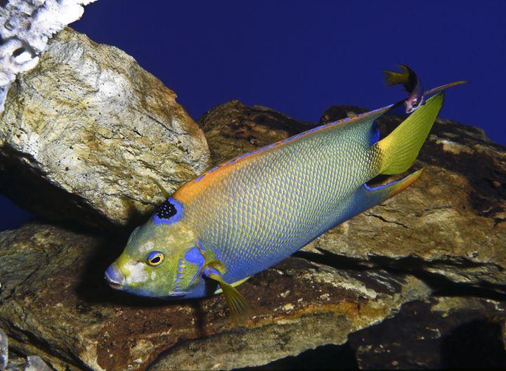 Queen Angelfish - Sally Weigand Images