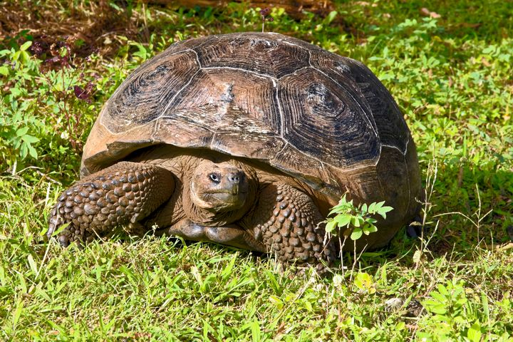 Galapagos Tortoise Portrait - Sally Weigand Images