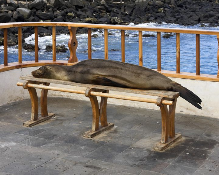 Galapagos Sea Lion on Bench - Sally Weigand Images